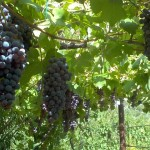 Wines from Le Marche, Italy